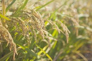 oor van rijst