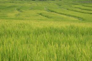 groene rijstvelden in de noordelijke hooglanden van thailand