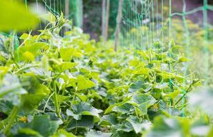 kruipende wijnstokken van komkommer en groene bladeren