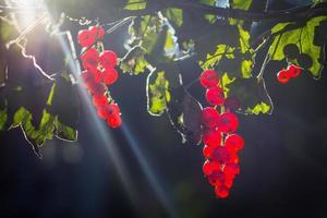 rode bessenvruchten in de zon foto