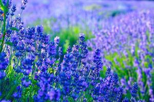 lavendelveld in de zomer foto