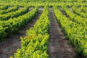 wijngaard in la rioja (spanje)