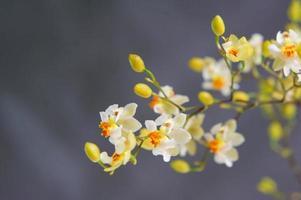 mini oncidium bloemen