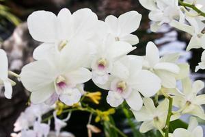 witte orchideeën foto