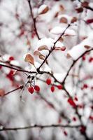 hackberries in sneeuw