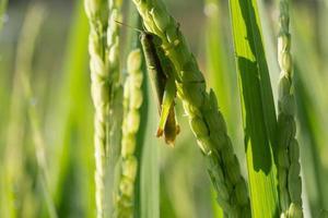 groene sprinkhaan op padie van plaaglandbouw