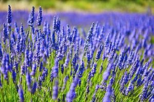 mooi bloeiend lavendelveld foto