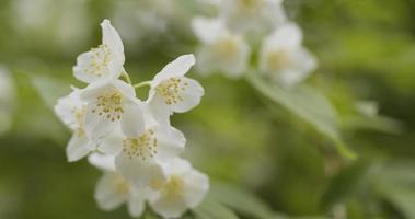 jasmijnbloemen in bloei buitenfoto foto
