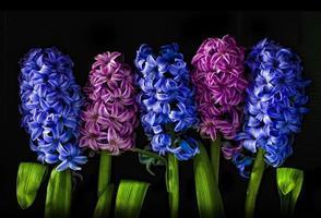hyacintus foto