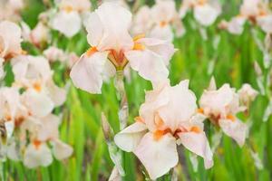 bloemen irissen foto
