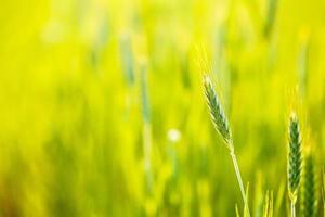 groene tarwe op de achtergrond van een veld foto