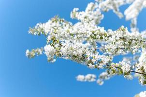 kersenbloesem tegen blauwe hemel