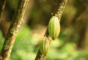 cacaovruchten foto