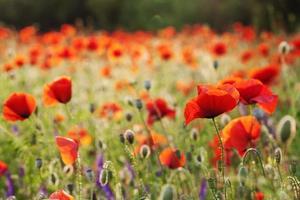 prachtige bloeiende klaprozen