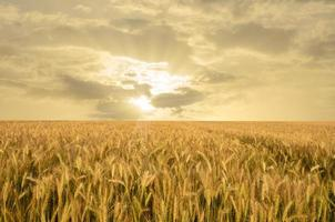 gouden tarweveld foto