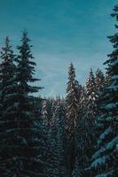 besneeuwde pijnbomen foto