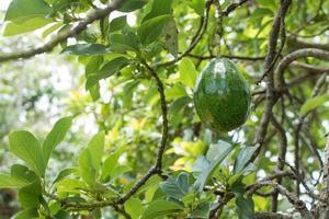 avocado aan de boom foto