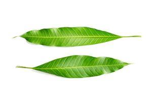 bladeren van mangoboom