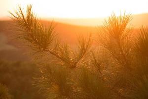 close-up van dennennaalden bij zonsondergang foto