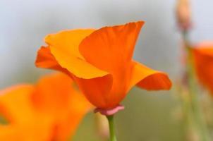 californië staat papaver macro foto