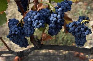 vinho, vinhas e vindimas, wijn, wijngaarden en oogst, foto