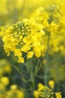 koolzaad bloeien foto