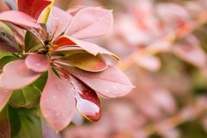 roze blad met dauw