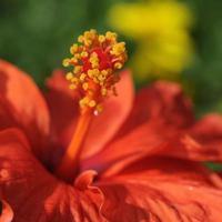 hibiscus foto