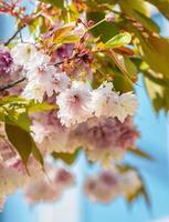 bos van bloeiende amandel (struikachtige kers - prunus triloba) bloemen