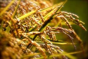 herfst rijst