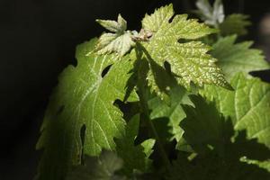wijnstokblad