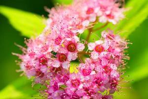 bloem van spiraea japonic, moerasspirea, rosaceae, japan foto