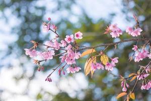 een afbeelding van sakura foto