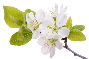 bloei van pruimenboom foto