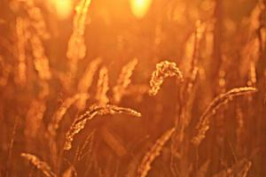 onscherpe achtergrond droog gras zonsondergang foto