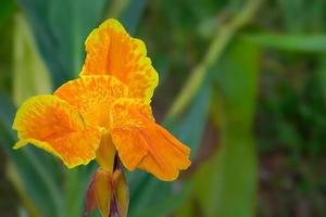 mooie oranje canna indica bloem. foto