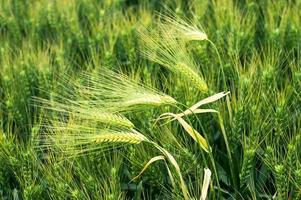 groene tarweveld