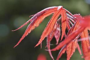 jonge rode bladeren van acer palmatum inaba-shidare