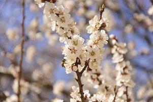 bij op de abrikozenbloemen foto
