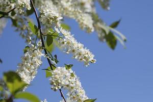 vogelkersboom bloeit in de lente foto