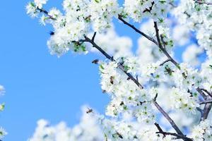 bloeiende boom met witte bloemen in de lente