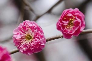 pruim bloemen