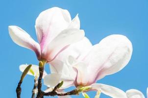 magnolia bloemen op blauwe achtergrond foto