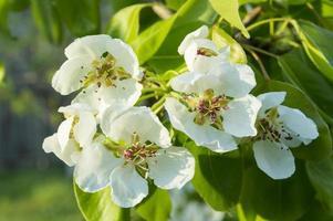 perenboom bloeit
