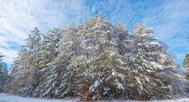 blauwe hemel winterochtend op hoge dennen in verse sneeuw.