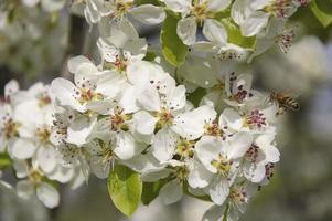 bij op de perenbloemen
