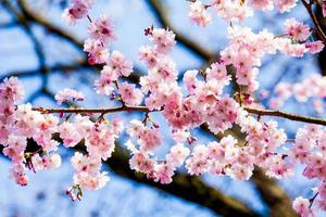 lente sakura roze bloem foto