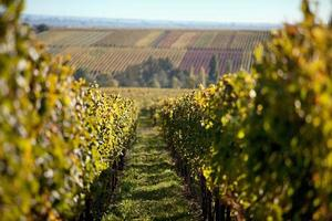 herfst wijngaard