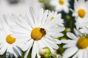 bee werkt aan grote bloemen van chamomiles