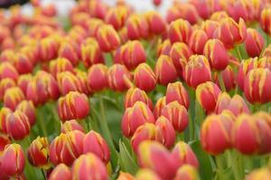 tulp. mooi boeket tulpen